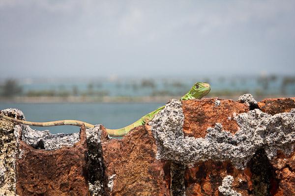 lizard, castillo del san felipe del morro