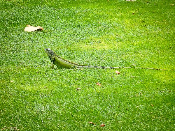 iguana, el conquistador resort, fajardo, puerto rico