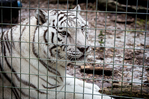 tiger sanctuary | the merry gourmet